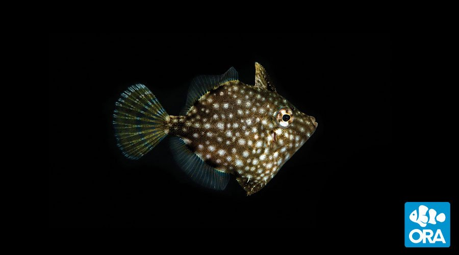Pygmy Filefish